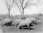 Sheep on the Long Meadow, 1900
